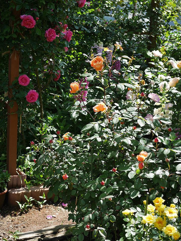 サンスプラッシュ(ミニバラ)の花が増えて来た。2019年-6.jpg