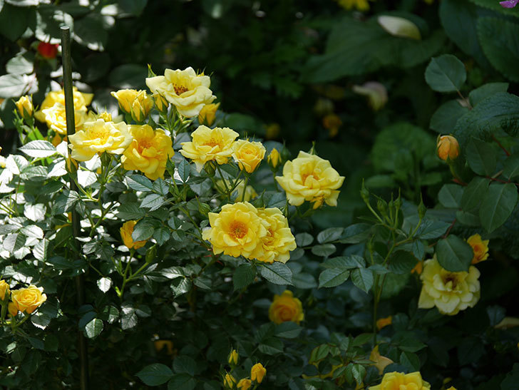 サンスプラッシュ(ミニバラ)の花が増えて来た。2019年-7.jpg