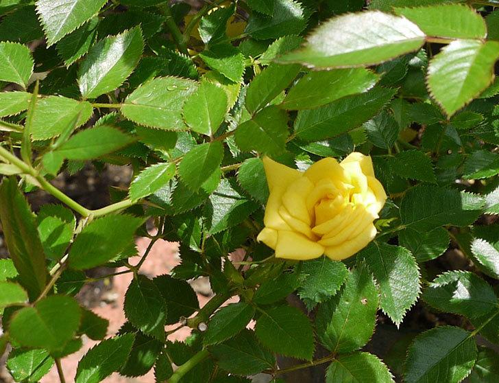 サンスプラッシュ(ミニバラ)の開花株に2番花が咲いた。2016年-1.jpg
