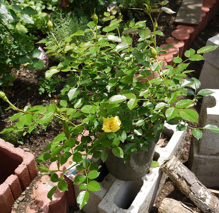 サンスプラッシュ(ミニバラ)の開花株に2番花が咲いた。2016年-3.jpg