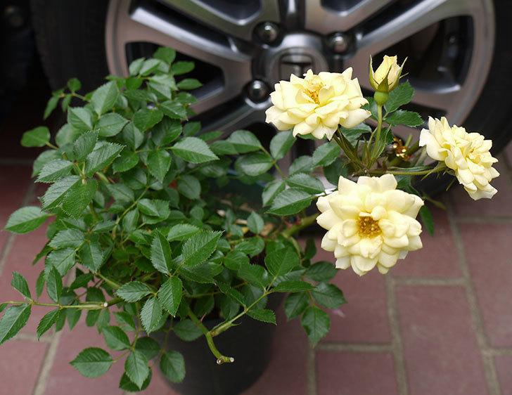 サンスプラッシュ(ミニバラ)の開花株買って来た。2016年-1.jpg
