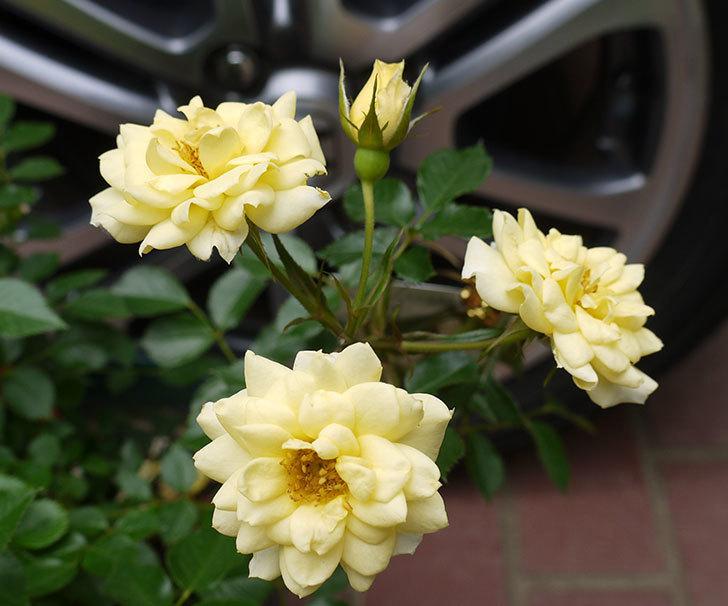 サンスプラッシュ(ミニバラ)の開花株買って来た。2016年-3.jpg