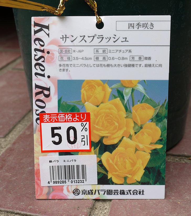 サンスプラッシュ(ミニバラ)の開花株買って来た。2016年-4.jpg
