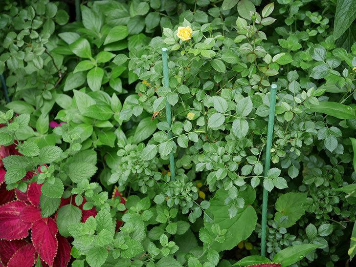 サンスプラッシュ(Sunsplash)の2番花が咲いた。ミニバラ。2020年-001.jpg