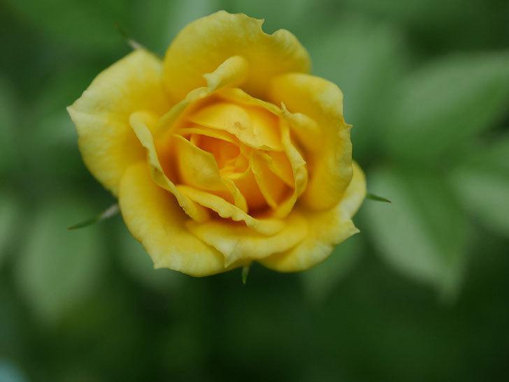 サンスプラッシュ(Sunsplash)の2番花が咲いた。ミニバラ。2020年-002.jpg