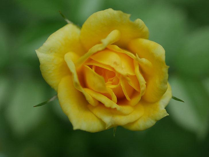 サンスプラッシュ(Sunsplash)の2番花が咲いた。ミニバラ。2020年-003.jpg