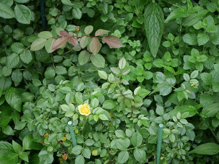サンスプラッシュ(Sunsplash)の2番花が咲いた。ミニバラ。2020年-004.jpg