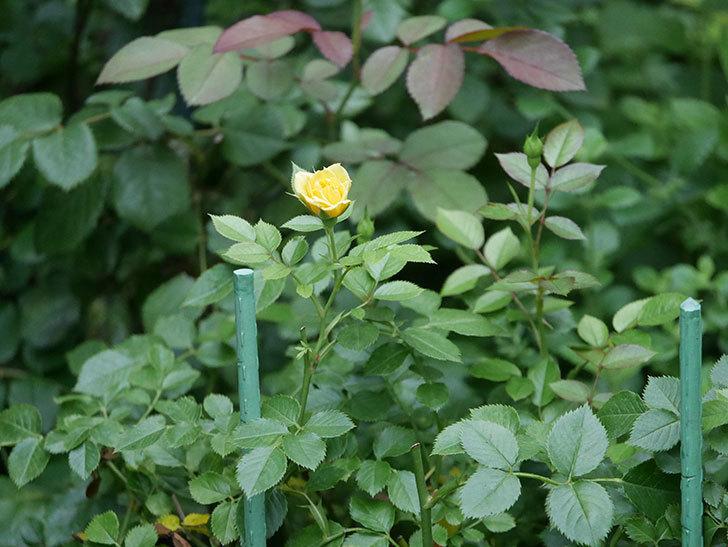 サンスプラッシュ(Sunsplash)の2番花が咲いた。ミニバラ。2020年-005.jpg