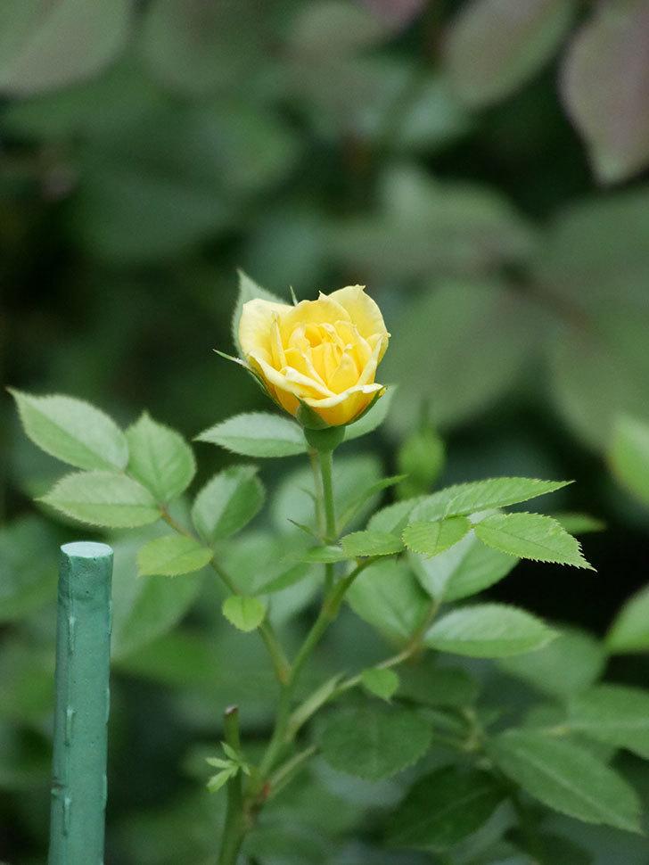 サンスプラッシュ(Sunsplash)の2番花が咲いた。ミニバラ。2020年-006.jpg