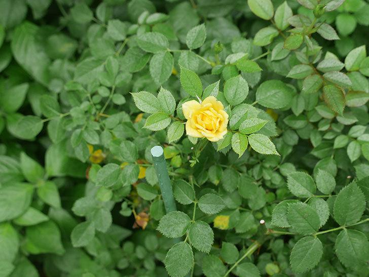 サンスプラッシュ(Sunsplash)の2番花が咲いた。ミニバラ。2020年-007.jpg