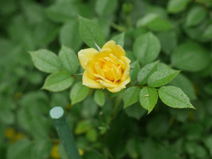 サンスプラッシュ(Sunsplash)の2番花が咲いた。ミニバラ。2020年-008.jpg