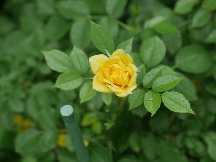 サンスプラッシュ(Sunsplash)の2番花が咲いた。ミニバラ。2020年-009.jpg