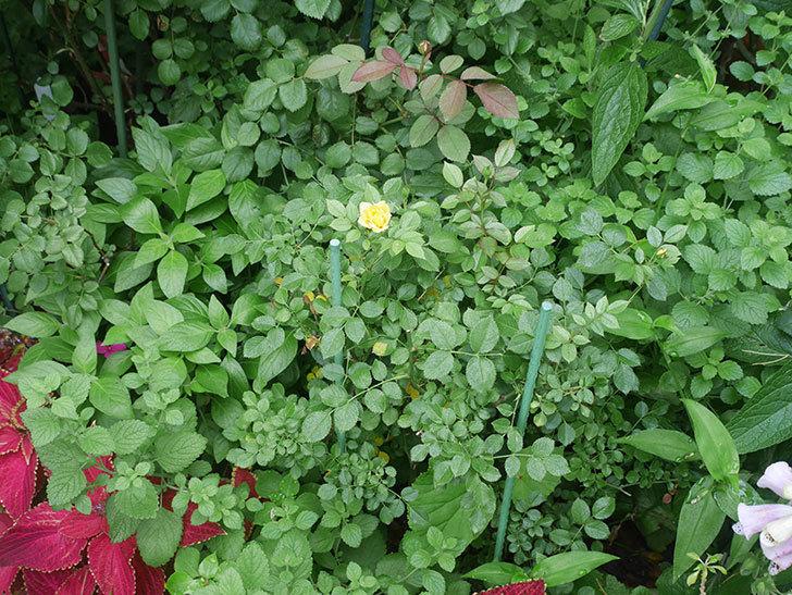 サンスプラッシュ(Sunsplash)の2番花が咲いた。ミニバラ。2020年-011.jpg