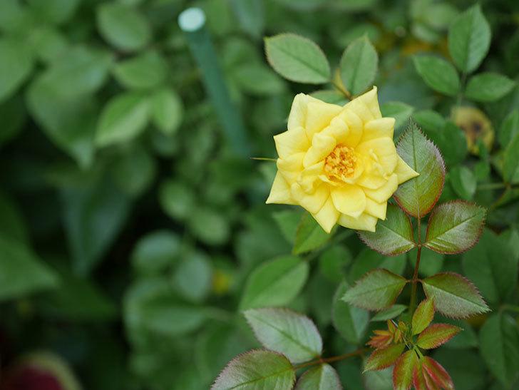 サンスプラッシュ(Sunsplash)の夏花が咲いた。ミニバラ。2020年-002.jpg