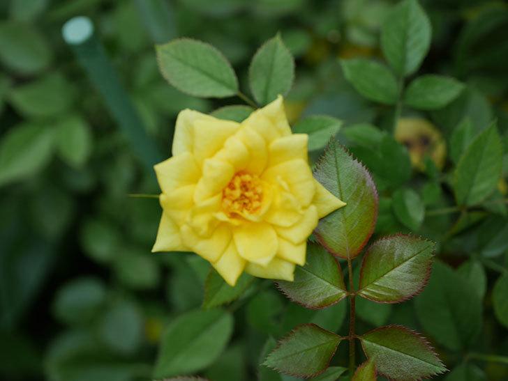 サンスプラッシュ(Sunsplash)の夏花が咲いた。ミニバラ。2020年-003.jpg