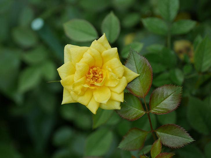 サンスプラッシュ(Sunsplash)の夏花が咲いた。ミニバラ。2020年-004.jpg