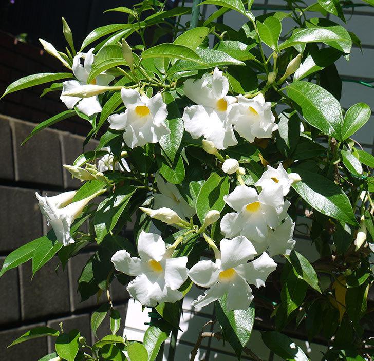 サンパラソル(マンデビラ)がたくさん咲いた。2016年-1.jpg
