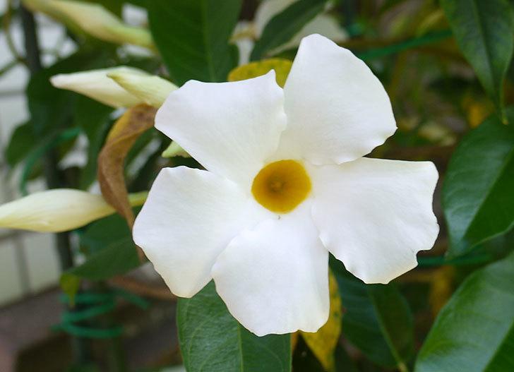 サンパラソル(マンデビラ)がまた咲きだした。2016年-2.jpg