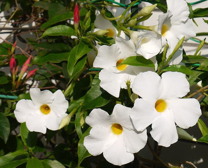 サンパラソル(マンデビラ)が咲いた。2016年-2.jpg