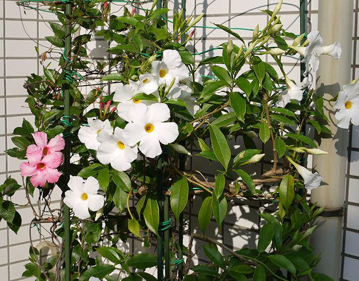 サンパラソル(マンデビラ)が咲いた。2016年-3.jpg