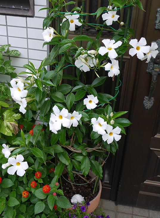 サンパラソル(マンデビラ)が毎日たくさん咲く。2015年-2.jpg