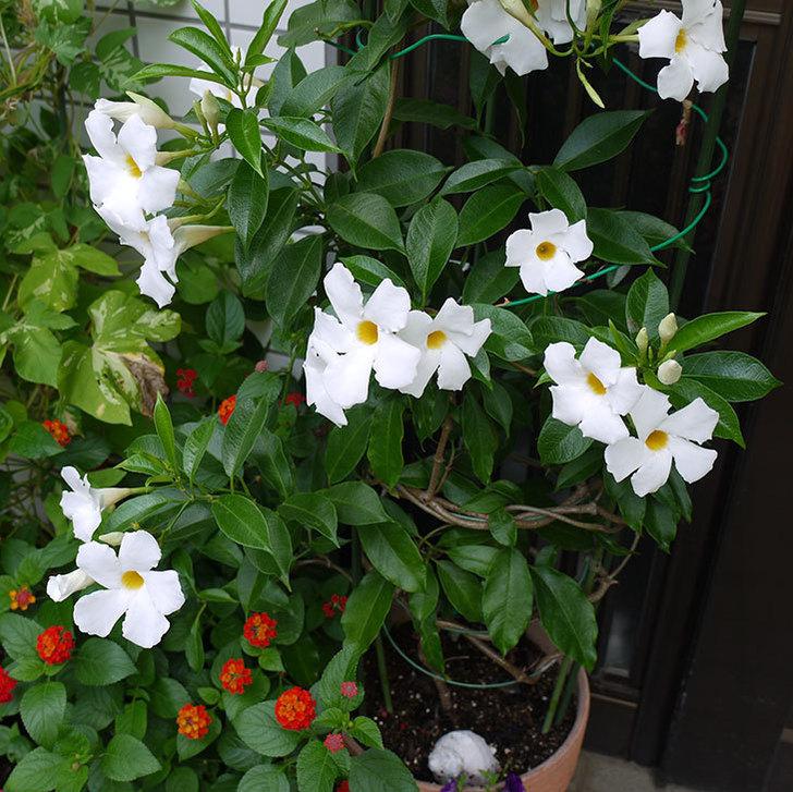 サンパラソル(マンデビラ)が毎日たくさん咲く。2015年-3.jpg