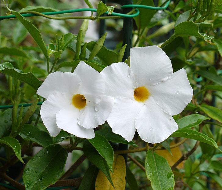 サンパラソル(マンデビラ)の花が咲き出した。2016年-1.jpg