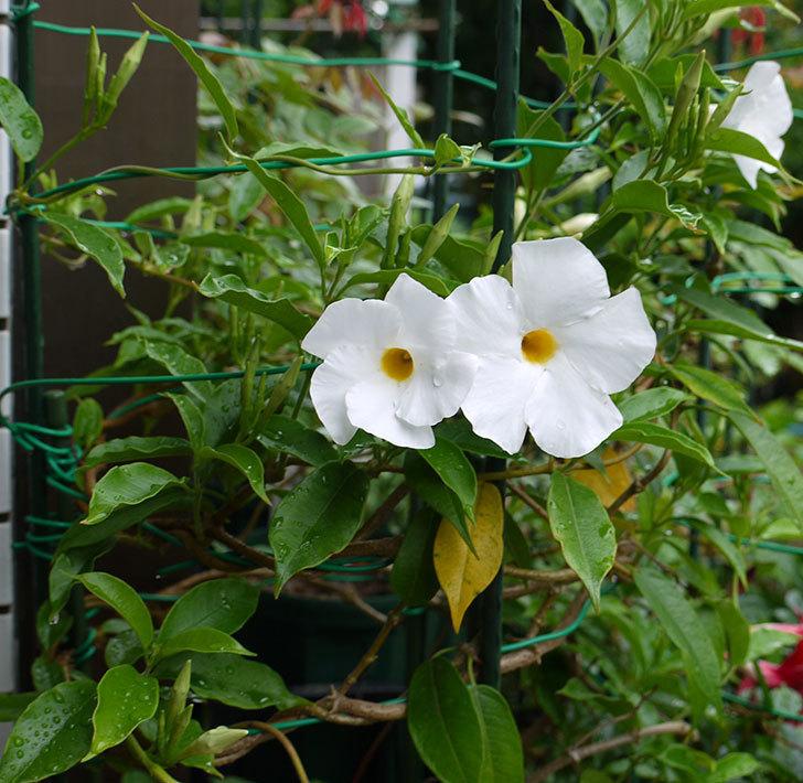 サンパラソル(マンデビラ)の花が咲き出した。2016年-4.jpg
