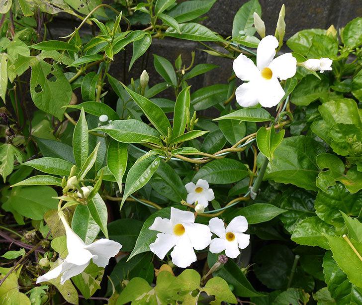 サンパラソル(マンデビラ)の花が大量に咲いた1.jpg