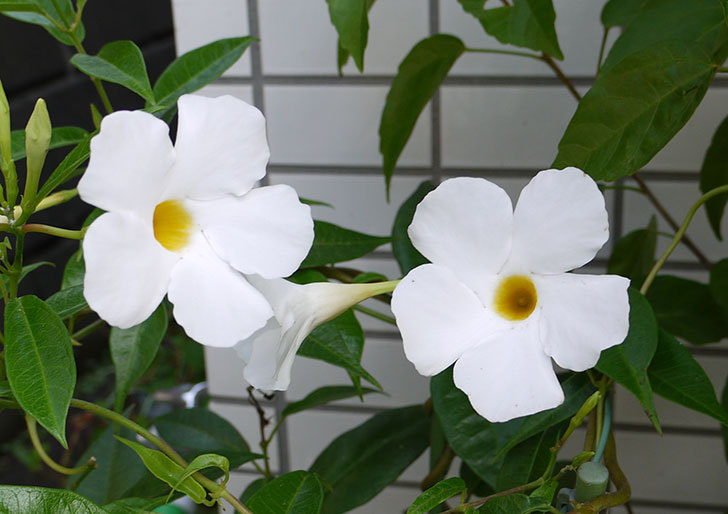サンパラソル(マンデビラ)の花が良い感じに咲いた2.jpg