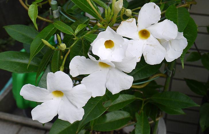 サンパラソル(マンデビラ)の花が良い感じに咲いた3.jpg