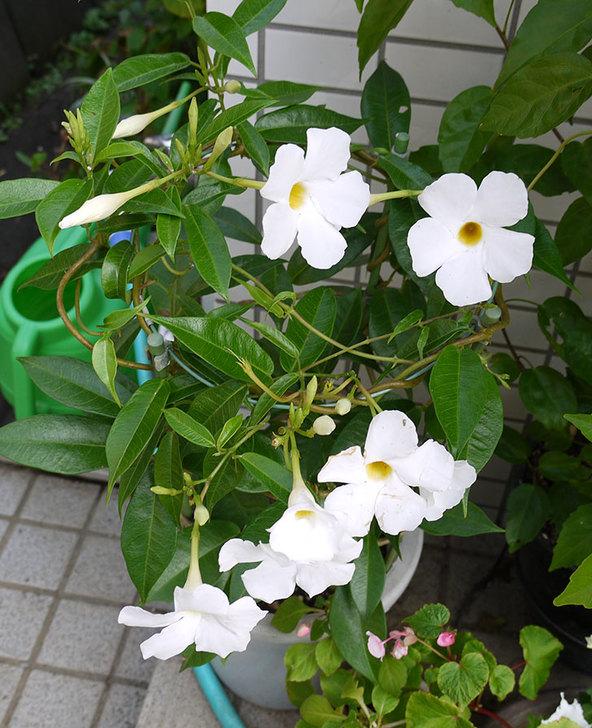 サンパラソル(マンデビラ)の花が良い感じに咲いた5.jpg