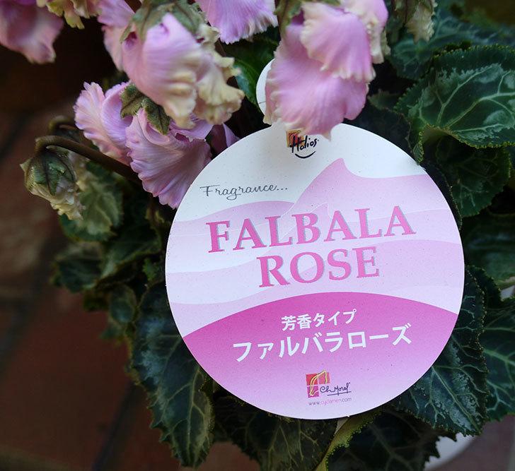 シクラメン-ファルバラローズをケイヨーデイツーで買って来た。2016年-5.jpg