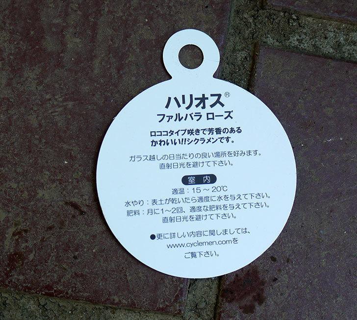 シクラメン-ファルバラローズをケイヨーデイツーで買って来た。2016年-6.jpg