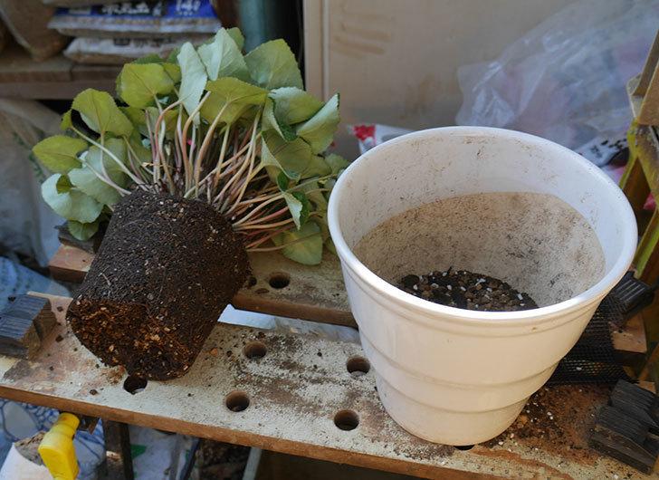 シクラメンの5号鉢を化粧鉢に植え替えた。2019年-10.jpg