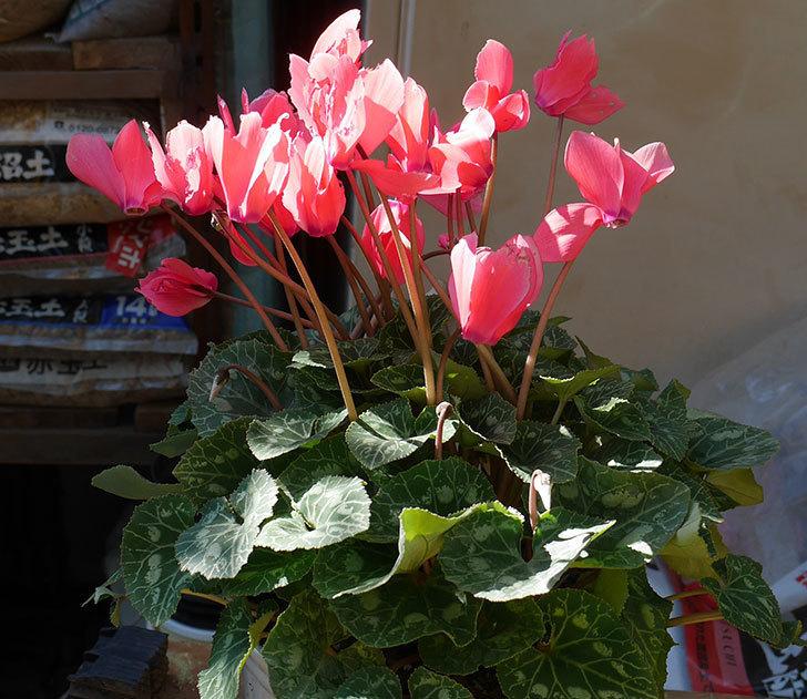 シクラメンの5号鉢を化粧鉢に植え替えた。2019年-11.jpg