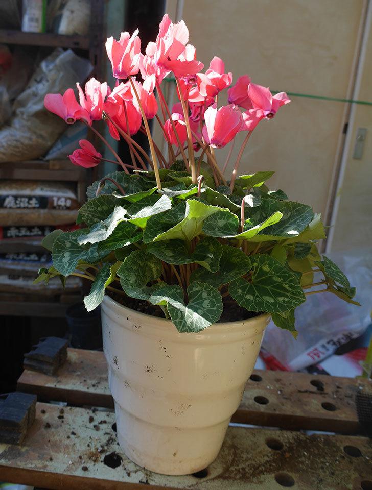 シクラメンの5号鉢を化粧鉢に植え替えた。2019年-12.jpg
