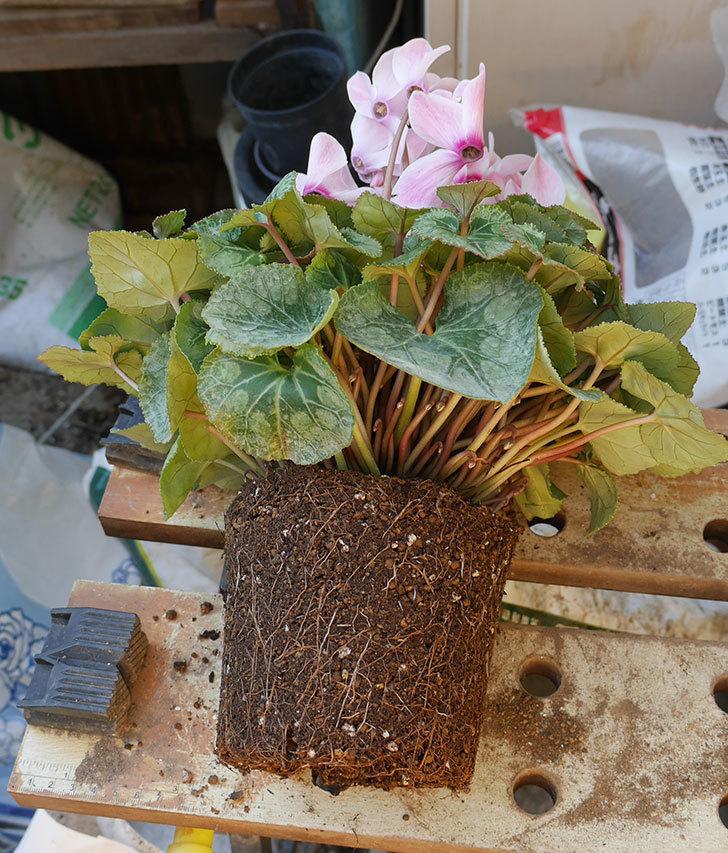 シクラメンの5号鉢を化粧鉢に植え替えた。2019年-13.jpg