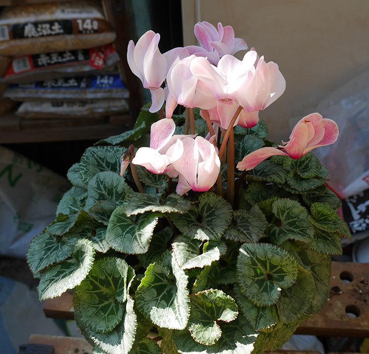 シクラメンの5号鉢を化粧鉢に植え替えた。2019年-15.jpg