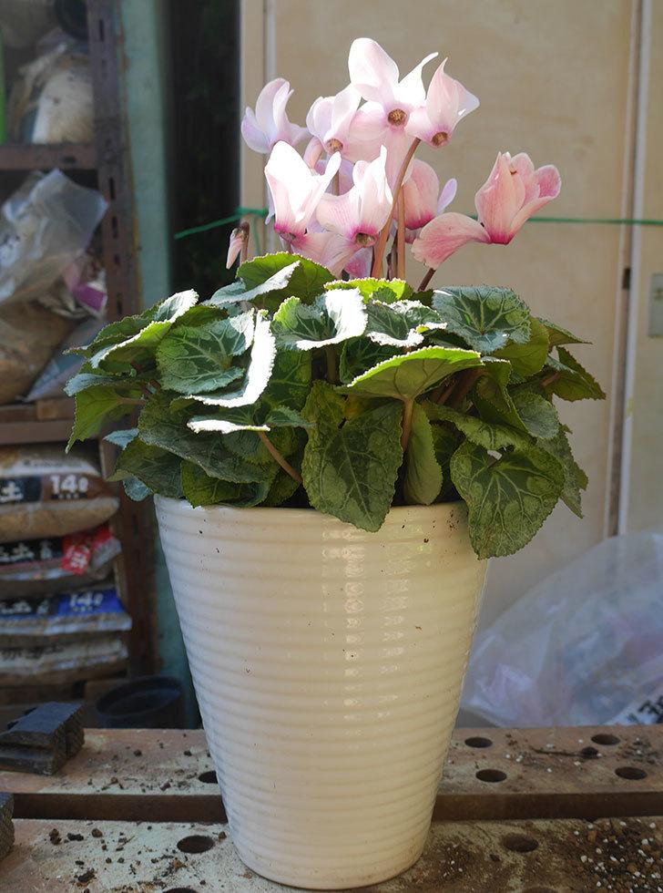 シクラメンの5号鉢を化粧鉢に植え替えた。2019年-16.jpg