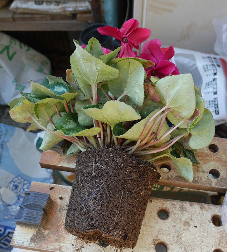 シクラメンの5号鉢を化粧鉢に植え替えた。2019年-2.jpg