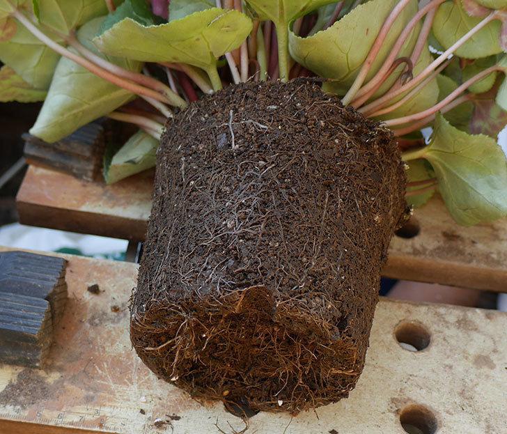 シクラメンの5号鉢を化粧鉢に植え替えた。2019年-3.jpg