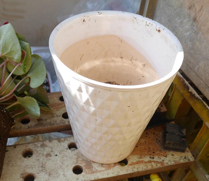 シクラメンの5号鉢を化粧鉢に植え替えた。2019年-4.jpg