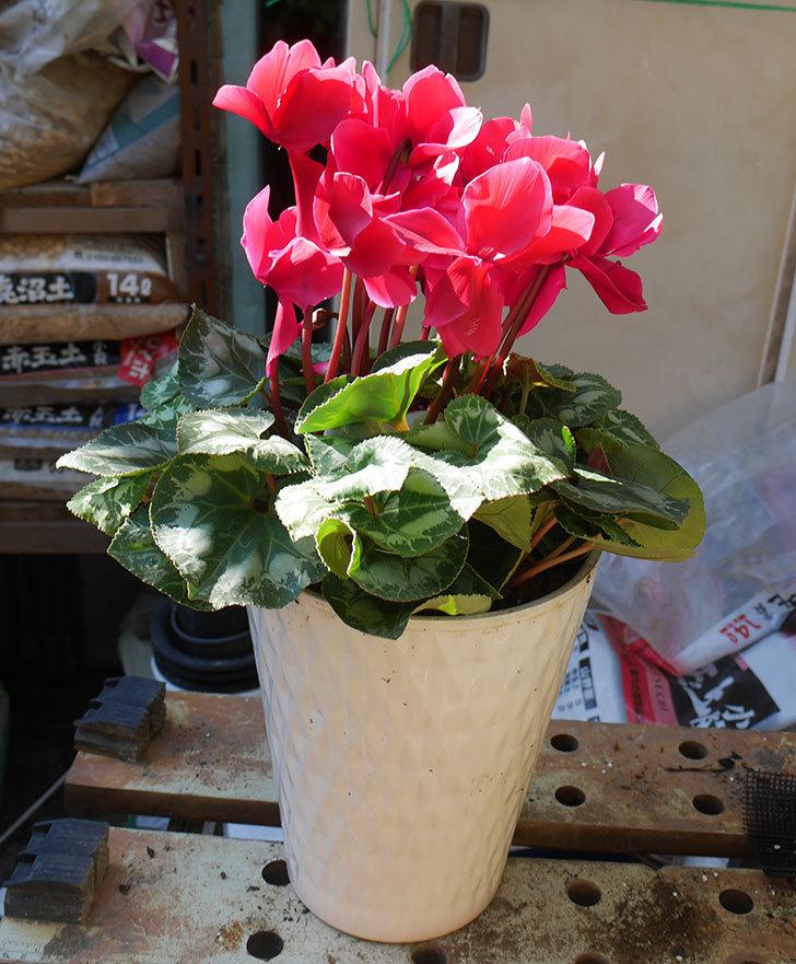 シクラメンの5号鉢を化粧鉢に植え替えた。2019年-6.jpg