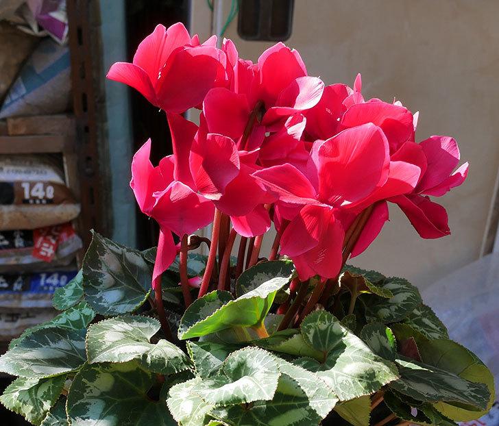 シクラメンの5号鉢を化粧鉢に植え替えた。2019年-7.jpg