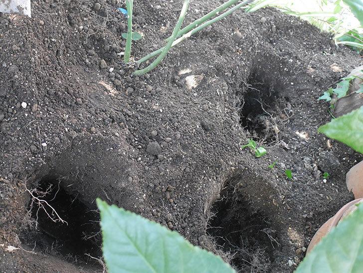 シティ・オブ・ヨーク(City of York)に寒肥を施した。ツルバラ。2021年-001.jpg