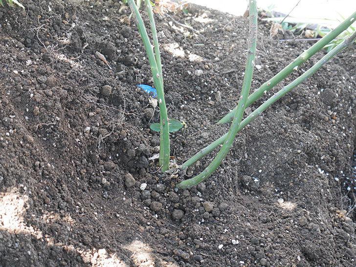 シティ・オブ・ヨーク(City of York)に寒肥を施した。ツルバラ。2021年-010.jpg
