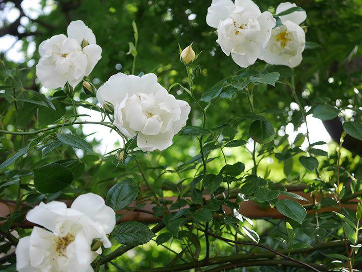 シティ・オブ・ヨーク(City of York)の花がたくさん咲いた。ツルバラ。2021年-002.jpg