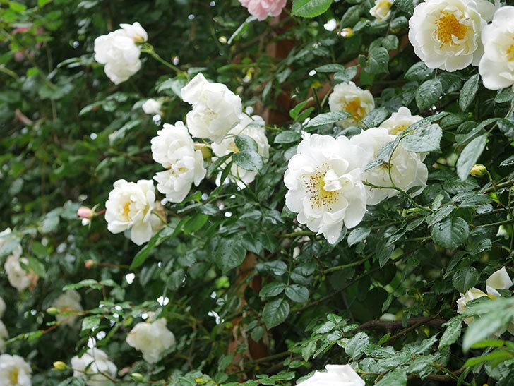 シティ・オブ・ヨーク(City of York)の花がたくさん咲いた。ツルバラ。2021年-008.jpg
