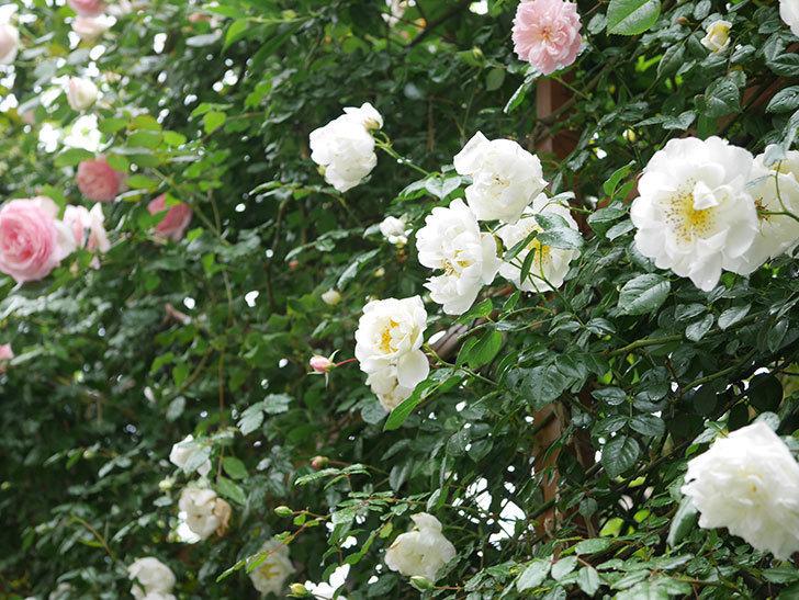 シティ・オブ・ヨーク(City of York)の花がたくさん咲いた。ツルバラ。2021年-009.jpg